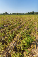 Dying withered plants on dutch potato field