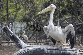 great white pelican who sits on a dry branch of a tree standing in the water