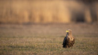 Adult white-tailed eagle sitting on meadow in winter with copy space
