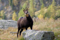 Chamois in the Mercantour National Park