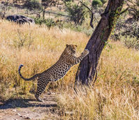 African leopard sharpens claws on tree