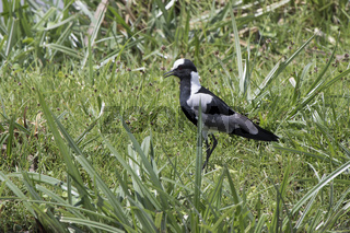 Blacksmith Lapwing which stands among the tall grass on the shore of a small pond in the savannah