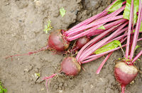 Top view of Just picked Red Beets on the garden soil