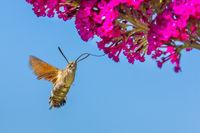 Hummingbird butterfly eats nectar from buddleja flower