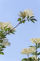 Elderflowers in front of blue sky