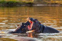 fighting young male hippopotamus Hippopotamus