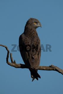 Brown snake-eagle on dead tree turning head