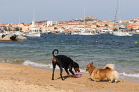 Group of dogs playing with frisbee on dogs friendly beach near Palau, Sardinia, Italy.