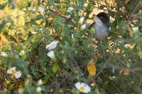 warbler Algarve Portugal