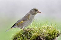 Greenfinch foraging