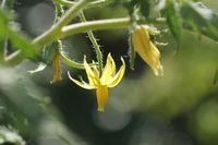 Solanum lycopersicum, Tomato, blossom