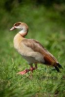 Egyptian goose walks in grass facing left