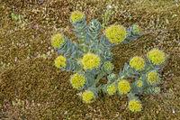 Blühende Wolfsmilchpflanze