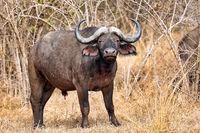 african buffalo, South Luangwa National Park, Zambia, (Syncerus caffer)