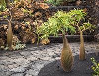 Cactuses in the Cactus garden, Lanzarote, Canary Islands, Spain