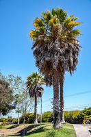 palm tree in La Serena