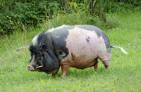 Black and pink boar