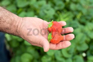 Farmer holding fresh strawberries in hands