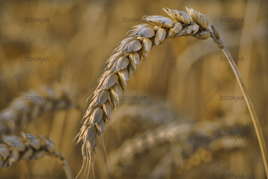 Ear of a wheat