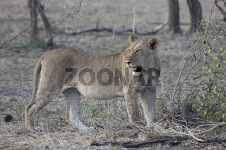 Lioness that stands among the low trees in the savannah in the evening