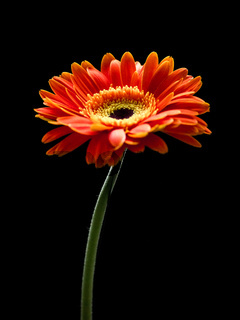 Beautiful red and orange gerbera flower isolated on a black background.