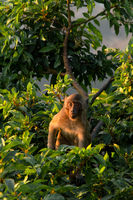Young macaque monkey looks at the camera from a tree  top at golden hour.
