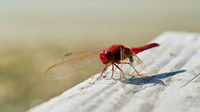Scarlet dragonfly (Crocothemis erythraea) on a yetty at a lake