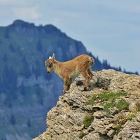 Master climber alpine ibex. Just a few months old and already climbing in the steepest cliffs. Mount