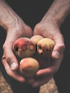 Man holds freshly harvested organic peaches