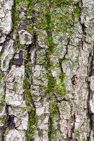 grooved bark on mature trunk of apple tree