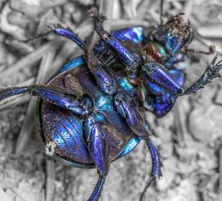 dung beetle closeup