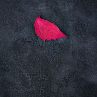 A red autumn leaf on a black background, a square abstract autumnal design template with a place for text