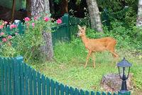 roe in a garden