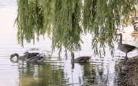 Greylag geese (Anser anser) on the lake shore, reflecting water, weeping willow