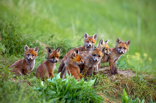 Red fox, vulpes vulpes, cubs sitting by the den.
