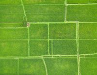 Top down aerial view of rice paddy fields