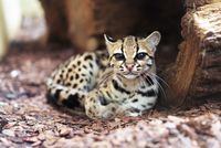 Margay, Leopardus wiedii, a rare South American cat