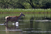 Red Deer hind in a pond