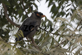 Bank Myna that is sitting on top of a tree on a cloudy winter day