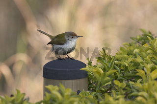 Common Tailorbird that sits on an artificial perch among bushes