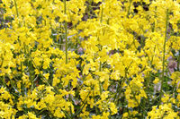 blossoming agricultural oilseed crop, yellow flowers of canola