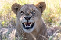 lion without a mane Botswana Africa safari wildlife