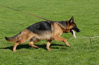 German shepherd dog running