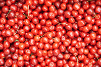 The sweet cherry
