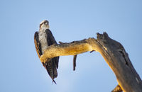 Juvenile Bald Eagle sitting on tree snag overlooking the river waiting