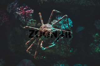 Giant spider crab in their natural habitat in the dark stones