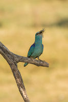 European roller with grasshopper in its beak