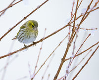 Female eurasian siskin bird in the winter