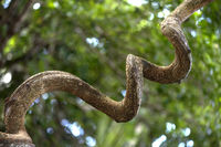 Twisted trunk of African dream herb (Entada rheedii),Ankanin Ny Nofy, Madagascar
