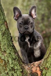 French bulldog puppy sitting on a fork